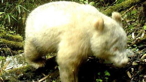 panda albino rare china wild