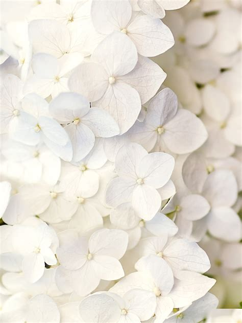 White Flower Background White Flowers Wallpapers White Flowers