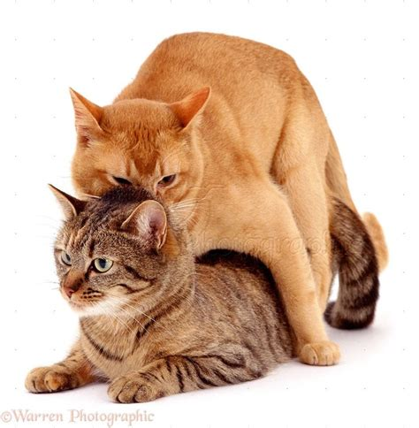 how do cats mate cats mating cats pinterest cats