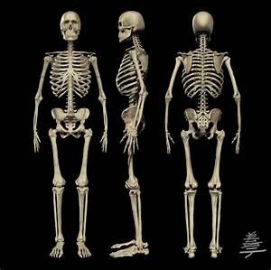 Human Anatomy. Skeleton For Anatomy Human Skull Systems ...