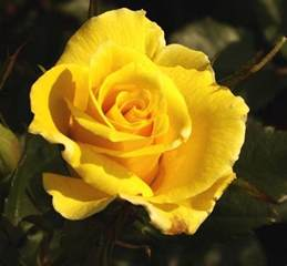 color roses roses images the yellow of hd wallpaper and