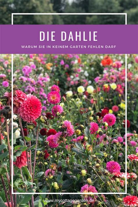 Dahlien Pflege Schnitt by Dahlien Pflanzen