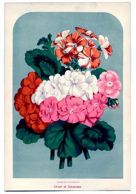 vintage instant art printable geraniums  graphics fairy