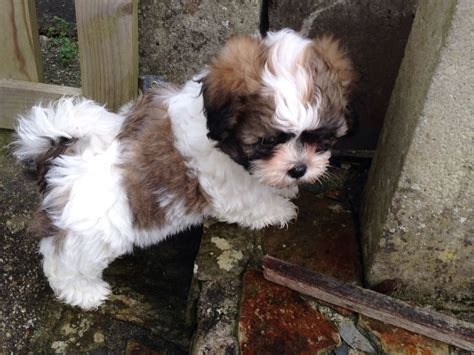 Shichon Puppies For Sale  Truro, Cornwall Pets4homes