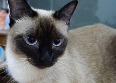 Razze di gatti per bambini   Idee Green