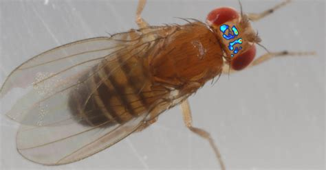 Creating A Window Into A Fly's Brain  The New York Times