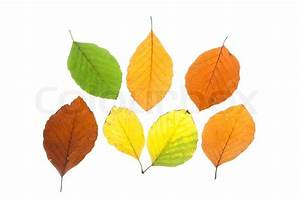 Die Farben Des Herbstes : set aus buche bl tter in verschiedenen farben des herbstes ~ Lizthompson.info Haus und Dekorationen