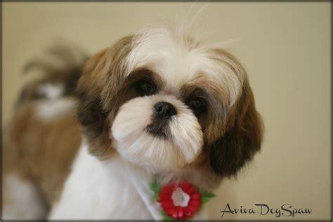 female shih tzu puppy  months  asian fusion teddy bear