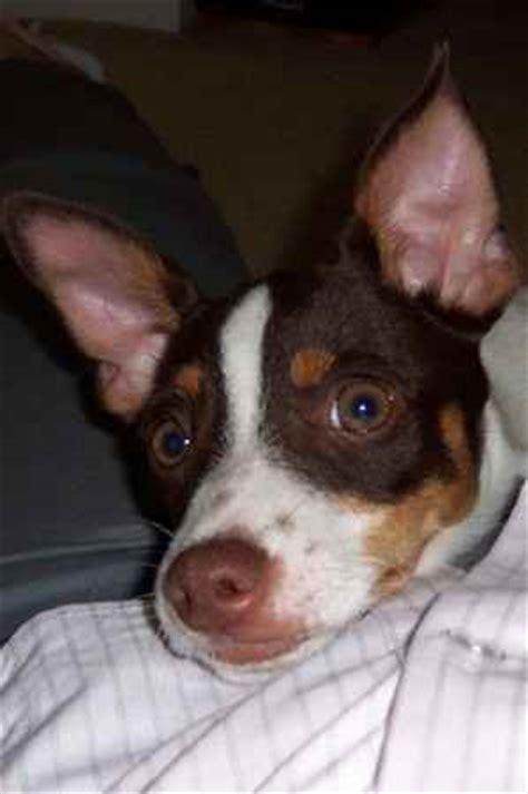 Rat Terrier Sheds Much by Picture Of Dudley A Rat Terrier Pembroke Corgi