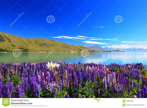 lupines   lake tekapo  zealand stock photo