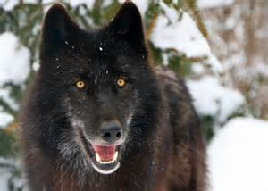 wolf captive and reintroduction raising wolves to be