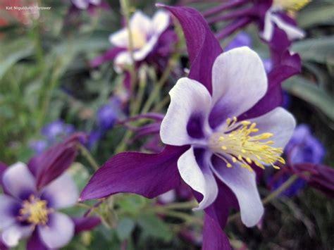 purple aquilegia purple columbine columbine flowers pinterest