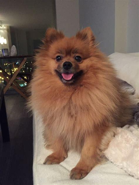 pomeranian teddy bear haircut quora