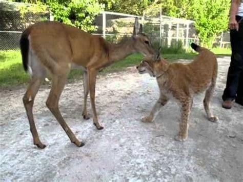 deer  lynx eternal friends youtube