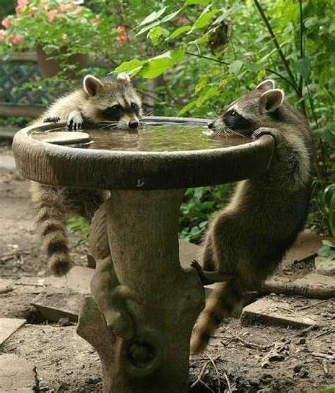 pick cute thirsty raccoons of the day gardens baby