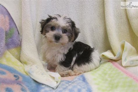 Do Morkie Poos Shed by Morkie Yorktese Puppy For Sale Near Chicago Illinois