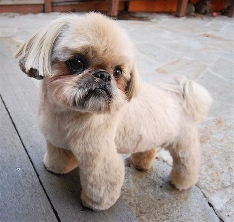 pekingese grooming cuts images  pinterest