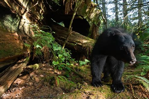 black bears  count    primates