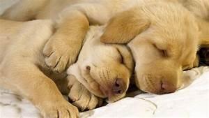 Bulldog Puppies Sleeping - wallpaper.