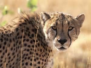cheetah cat purring