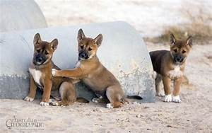 Dingo Dogs 101 images
