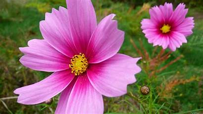 Cosmos Flowers Pink Flower Cosmo Dreams Wallpapers