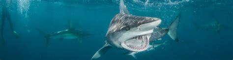 sand tiger shark facts amazing infos   specie