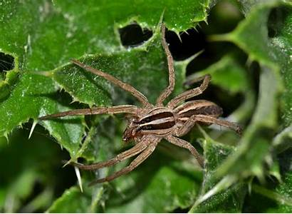 Spider Wolf Common Spiders Scary Bad Critters