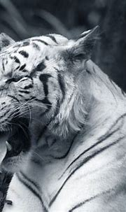 Wallpapers big cats, whiskers, wildlife, felidae, white ...