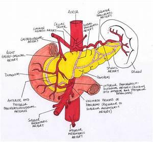 Anatomy Of Superior Mesenteric Artery | MedicineBTG.com