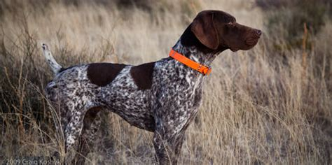 german shorthaired pointer shedding breeders in mississippi puppies for in mississippi