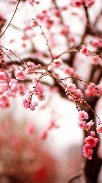 Iphone Spring Cherry Wallpapers Blossoms Blossom Phone
