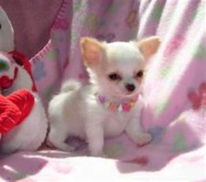 TINIEST MICRO TEACUP CHIHUAHUA FEMALE PUPPY UNDER 3.5 LBS ...