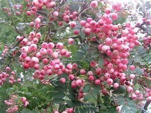 Eberesche Im Garten : sorbus vilmorinii garten pinterest shrub garden ideas and gardens ~ Yasmunasinghe.com Haus und Dekorationen