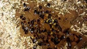 Essaim De Frelon : nid de bourdons youtube ~ Melissatoandfro.com Idées de Décoration