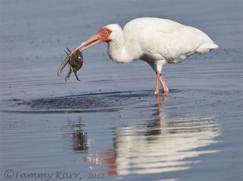crab ibis fishing birds florida around heart things wading observed consuming ibises variety ve