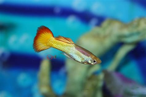 absolutely fish photo gallery poecillidae