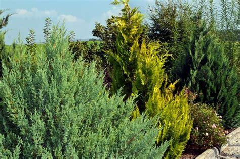 koniferen schneiden wann koniferen nadelholzgew 228 chse nadelgeh 246 lze die kiefernartige konifere