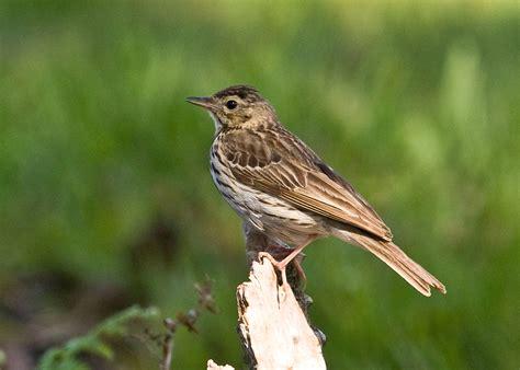 greater kent birder  lodge ashdown forest
