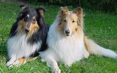 Collie Wallpapers Lassie Backgrounds Hipwallpaper Smooth Border