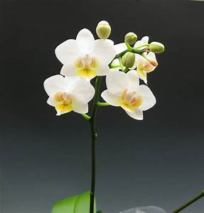 Miniature Moth Orchids