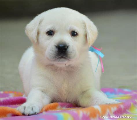 where to adopt a puppy dixie run labradors white lab puppies breeder in
