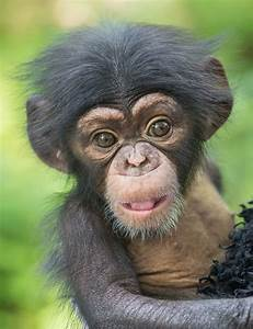 Chimpanzee Images - Reverse Search