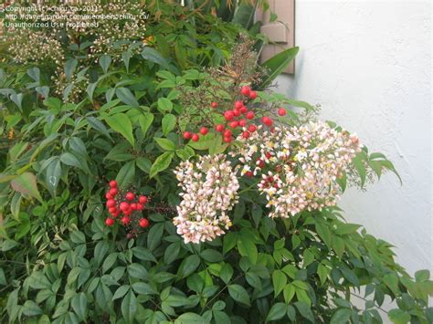 small tree with berries plant identification closed small tree with red berries need id 1 by chiku ca