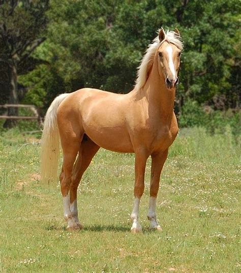 horse horses most sock palamino