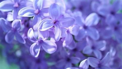 Lilac Desktop Backgrounds Wallpapers Computer Flower