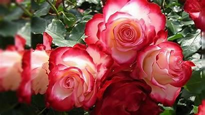 Rose 3d Roses Desktop Pink Wallpapers Flowers