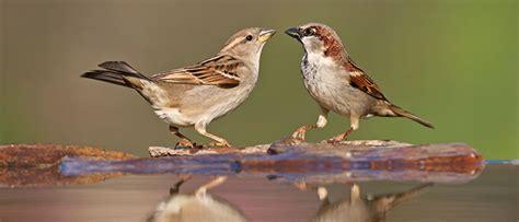 vogel des jahres  haussperling birdlife schweiz