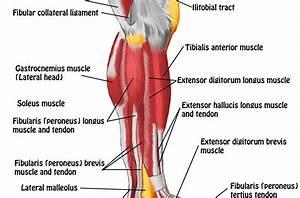 Smrt  Lower Leg  U0026 Foot  U2013 Massage Magazine