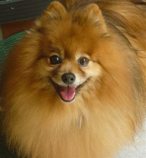Best Cute Pomeranian Ideas And Images On Bing Find What You Ll Love